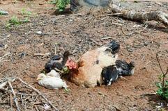 与四黑色的布朗母鸡 免版税库存图片