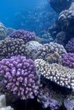 与困难珊瑚的珊瑚礁在红海底层  免版税库存图片