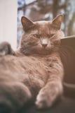 与困难的神色的灰色猫在窗口 免版税库存照片