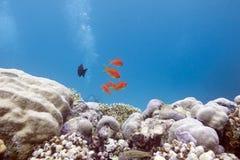 与困难石珊瑚和异乎寻常的鱼的珊瑚礁 免版税库存照片