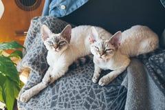 与困面孔的两只德文郡雷克斯猫在软的羊毛毯子一起放下并且看照相机 免版税库存图片