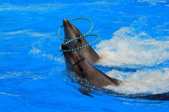 与圆环的两只海豚在水池 库存图片
