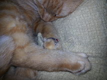 与圆环的橙色平纹在爪子 免版税库存照片