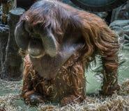 与圆的面孔的大红色猩猩 库存图片