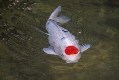 与圆红色斑点的白色小井鲤鱼在头 免版税图库摄影