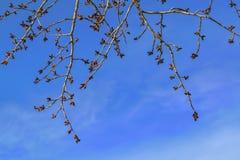 与圆鼓的芽的白杨树分支反对蓝色春天天空 免版税库存图片