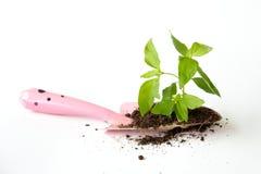 与土壤和小桃红色铁锹的一点树 图库摄影