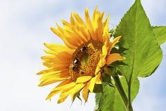 与土蜂的向日葵,关闭 免版税库存图片