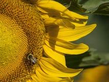 与土蜂的向日葵 免版税库存照片