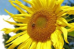 与土蜂的向日葵 免版税图库摄影