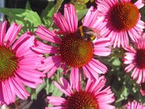 与土蜂的桃红色海胆亚目花 免版税库存图片