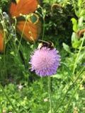 与土蜂的桃红色花 免版税库存照片