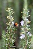 与土蜂的迷迭香灌木 免版税库存图片
