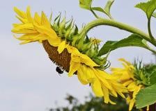 与土蜂花的向日葵反对天空 免版税库存照片