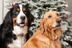 与圣诞树的两条纯血统狗 库存图片