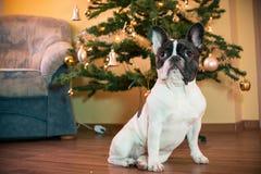与圣诞树的法国牛头犬 免版税库存图片