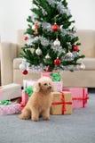 与圣诞树的狮子狗 库存照片