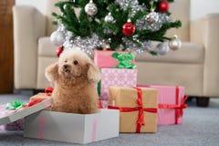 与圣诞树的狮子狗 免版税库存图片