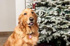 与圣诞树的金毛猎犬狗 免版税库存照片