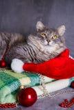 与圣诞老人帽子、圣诞节球和小珠的逗人喜爱的毛茸的家庭猫 免版税库存图片