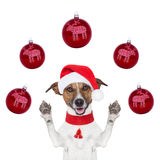 与圣诞老人帽子和球的圣诞节狗 库存图片