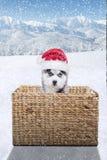 与圣诞老人帽子和篮子的狗爱斯基摩 库存图片