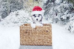 与圣诞老人帽子和篮子的西伯利亚爱斯基摩人小狗 图库摄影