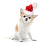 与圣诞老人帽子的奇瓦瓦狗狗在白色 免版税图库摄影