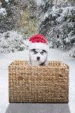 与圣诞老人帽子的小狗爱斯基摩在篮子 库存照片