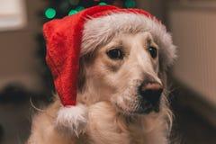 与圣诞老人帽子的白色金毛猎犬 库存图片