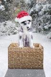 与圣诞老人帽子的西伯利亚爱斯基摩人小狗 免版税库存照片