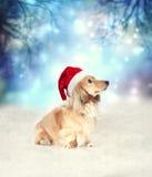 与圣诞老人帽子的达克斯猎犬狗 库存照片