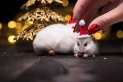与圣诞老人帽子的逗人喜爱的仓鼠在与圣诞灯的bsckground 免版税库存图片