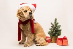 与圣诞老人` s盖帽的美国美卡犬 免版税图库摄影