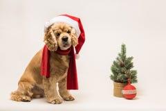 与圣诞老人` s盖帽的美国美卡犬 库存照片
