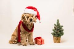 与圣诞老人` s盖帽的美国美卡犬 免版税库存照片