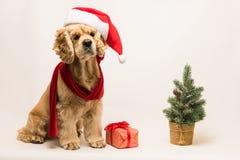与圣诞老人` s盖帽的美国美卡犬 库存图片