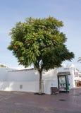 与圣诞节中看不中用的物品的兰花楹属植物树 免版税图库摄影