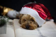 与圣诞节帽子和书的逗人喜爱的约克夏狗 免版税库存图片