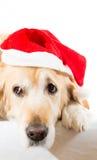 与圣诞节帽子的金毛猎犬 免版税库存图片
