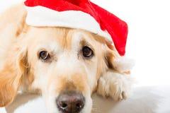与圣诞节帽子的金毛猎犬 库存照片