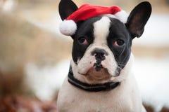与圣诞节帽子的Franse buldog 库存照片