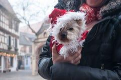 与圣诞节帽子的Shih tzu在街道的胳膊 库存照片