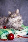 与圣诞节球和小珠的逗人喜爱的毛茸的家庭猫在绿色plai 图库摄影