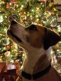 与圣诞节的狗 库存照片