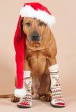 与圣诞节盖帽和袜子的逗人喜爱的圣诞老人狗 免版税库存图片