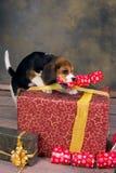 与圣诞节礼品的小狗 免版税库存照片