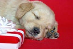 与圣诞节礼物的金毛猎犬小狗 免版税图库摄影
