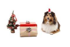 与圣诞节装饰品的设德蓝群岛牧羊犬 免版税库存图片