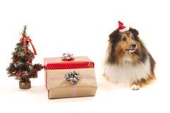 与圣诞节装饰品的设德蓝群岛牧羊犬 免版税图库摄影